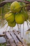 Kokosnötter på träd Royaltyfria Bilder