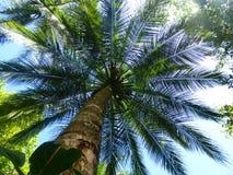 Kokosnötter som hänger i palmträd Arkivfoton