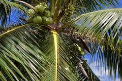 Kokosnötter som hänger på en kokosnötpalmträd Arkivfoto