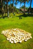 Kokosnötter som torkar i ösolen Royaltyfri Foto