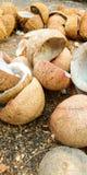 Kokosnötter som torkas för kokosnötolja som en typiska kerala modellerar royaltyfria foton