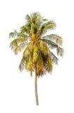 Kokosnötträd som isoleras på vit bakgrund Arkivfoton