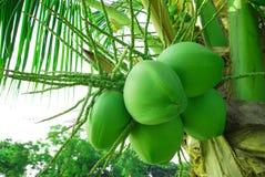 kokosnöttree Royaltyfri Bild