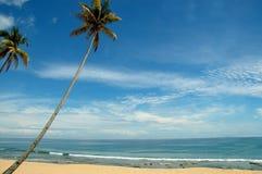 kokosnöttree Arkivbild