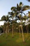 kokosnöttrees Royaltyfri Fotografi