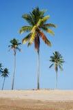 kokosnöttrees Fotografering för Bildbyråer