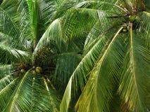 kokosnöttrees Arkivbild