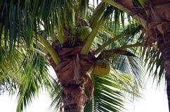 Kokosnötväxt Arkivbilder