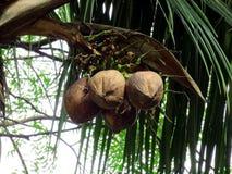 Kokosnüsse auf Baum Stockfoto