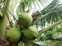 Kokosnüsse auf dem Baum stockfotos