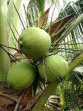 Kokosnüsse auf dem Baum 2 stockbild