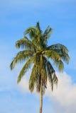 Kokosnüsse auf der Palme Lizenzfreie Stockfotografie