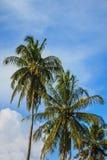 Kokosnüsse auf der Palme Lizenzfreies Stockfoto