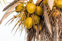 Kokosnüsse auf einem weißen Hintergrund in Bayahibe, La Altagracia, Dominikanische Republik Nahaufnahme Lizenzfreie Stockbilder