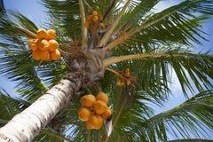 Kokosnüsse auf einer Palme Stockfotos
