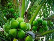Kokosnüsse auf Kokosnussbaum Stockfotos