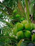 Kokosnüsse auf Kokosnussbaum Lizenzfreie Stockfotografie