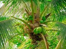 Kokosnüsse auf Kokosnussbaum Lizenzfreies Stockfoto