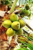 Kokosnüsse auf Palme Stockbild