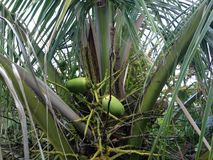 Kokosnüsse auf Palme am Südstrand, Miami Stockfoto