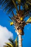Kokosnüsse in der Spitze der Palme Lizenzfreie Stockfotos