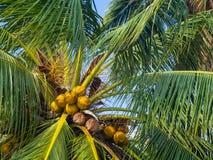 Kokosn?sse, die auf einer gr?nen Palme gegen einen blauen Himmel wachsen stockbild
