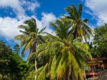 Kokosn?sse, die auf einer gr?nen Palme gegen einen blauen Himmel wachsen stockbilder