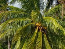 Kokosn?sse, die auf einer gr?nen Palme gegen einen blauen Himmel wachsen lizenzfreies stockfoto