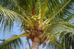 Kokosnüsse, die gegen blauen Himmel wachsen lizenzfreie stockfotografie