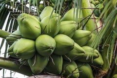 Kokosnüsse im Baum lizenzfreies stockbild