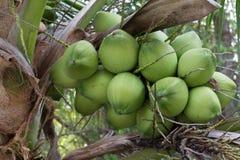 Kokosnüsse im Garten Stockfotografie