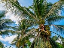 Kokosn?sse auf Palmen stockfotografie