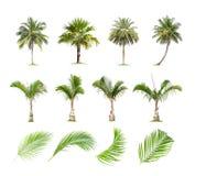Kokosn?t och palmtr?d, palmblad isolerat tr?d p? vit bakgrund vektor illustrationer