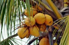 Kokosn?ten g?mma i handflatan med kokosn?tter arkivbild