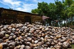 Kokosn?tlantg?rd i Dominikanska republiken: berg av kokosn?tter arkivbild
