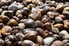 Kokosn?tlantg?rd i Dominikanska republiken: berg av kokosn?tter royaltyfria foton