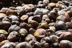 Kokosn?tlantg?rd i Dominikanska republiken: berg av kokosn?tter arkivbilder