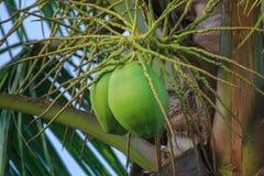 Kokosnoot stock fotografie