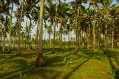 Kokosnoot, boom, groente, Indonesië, installatie Royalty-vrije Stock Foto's