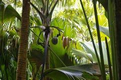 Kokosnoot of Coco DE Mere Royalty-vrije Stock Afbeelding