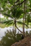 Kokosnoot en banyan bomen rond de vijver in het platteland van Thailand Stock Foto's
