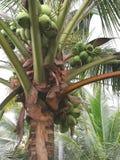 Kokosnoot en zijn fruit royalty-vrije stock foto