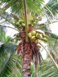 Kokosnoot en zijn fruit stock fotografie