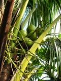 Kokosnoot op de boom, jonge kokosnoot, op kokospalm Royalty-vrije Stock Afbeeldingen