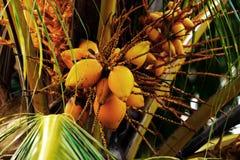 Kokosnoot op de palm royalty-vrije stock afbeelding