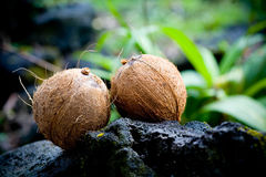 Kokosnoot, twee kokosnoten op een rots in Hawaï Royalty-vrije Stock Foto's