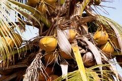 kokosnoten Stock Foto