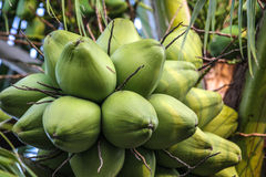 Kokosnoten in de boom Royalty-vrije Stock Fotografie