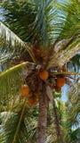 Kokosnoten die op kokosnotenpalm hangen Royalty-vrije Stock Foto