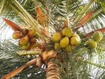 Kokosnoten die op Palm hangen Stock Fotografie